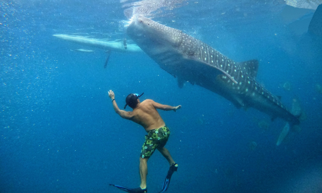 A man under water looks up at a whale shark swimming above him.