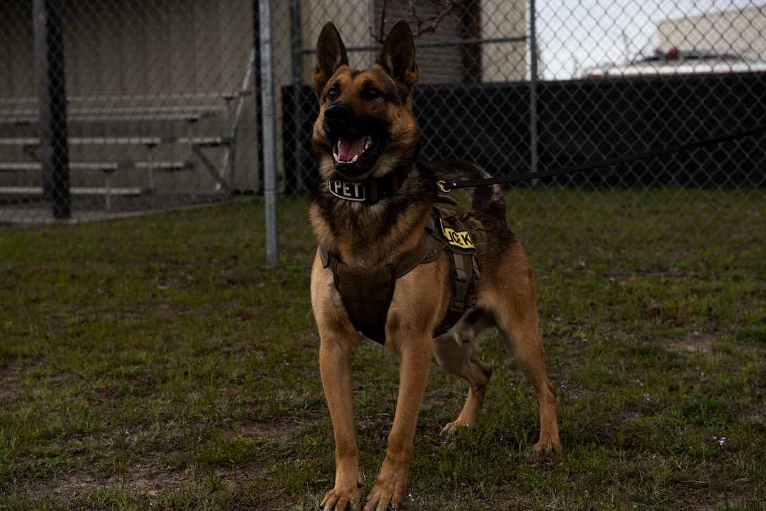 Sunny, a 325th Security Forces Squadron military working dog, poses for a photo at Tyndall Air Force Base, Florida, March 3, 2020. Organizations have been using MWDs for the past 78 years to enhance deterrence and assist in mission success. Each animal brings a unique personality and a needed skillset to the fight and are considered one of the military's most successful assets. This photo was taken while doing a demonstration for K-9 Veterans Day. (U.S. Air Force photo by Staff Sgt. Magen M. Reeves)
