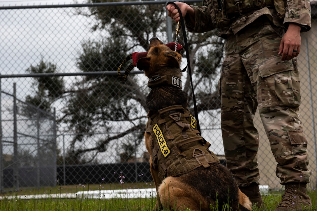 Sunny, a 325th Security Forces Squadron military working dog, chews on a piece of equipment used to train K-9s on their bite technique at Tyndall Air Force Base, Florida, March 3, 2020. Sunny and his handler, Staff Sgt. Jason Vogt, spend multiple hours training together to keep the team sharp. This photo was taken while doing a demonstration for K-9 Veterans Day. (U.S. Air Force photo by Staff Sgt. Magen M. Reeves)