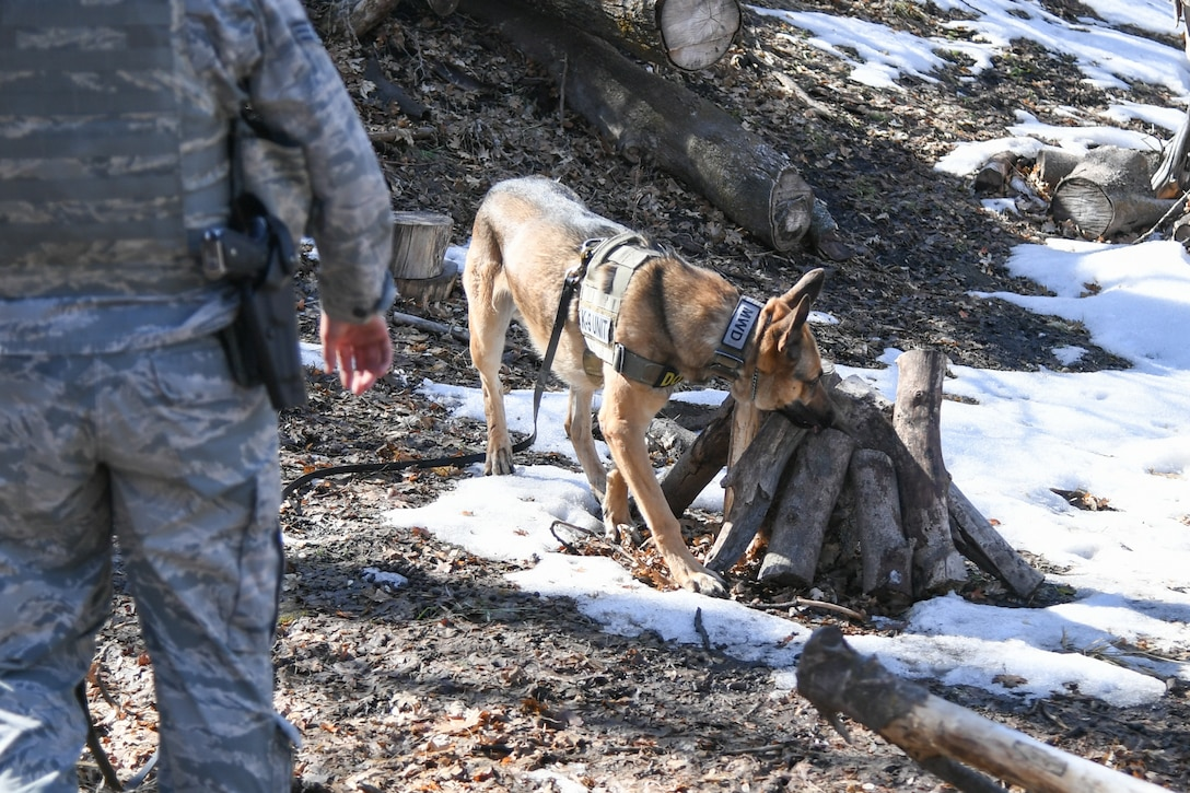Joe, a military working dog assigned to the 75th Security Force Squadron at Hill Air Force Base, Utah, sniffs around logs to search out an explosive training device March 4, 2020. Joe is a single-purpose MWD, trained as an explosive detection dog. (U.S. Air Force photo by Cynthia Griggs)