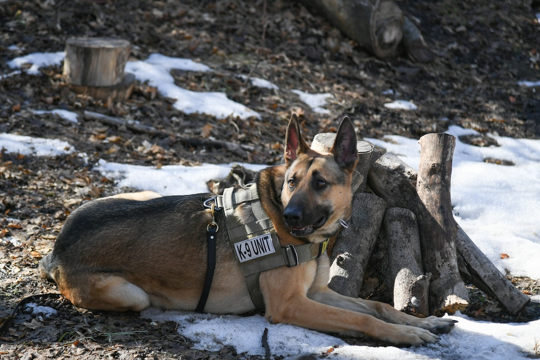 Joe, a military K-9 stationed with 75th Security Force Squadron at Hill Air Force Base, Utah, lays down signaling that he sniffed out an explosive training device March 4, 2020. Joe is a single-purpose MWD, trained as an explosive detection dog. (U.S. Air Force photo by Cynthia Griggs)