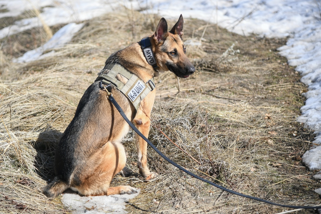 Joe, a military working dog assigned to the 75th Security Force Squadron at Hill Air Force Base, Utah, sits signaling he has sniffed out an explosive training device March 4, 2020.  Joe is a single-purpose MWD, trained as an explosive detection dog. (U.S. Air Force photo by Cynthia Griggs)