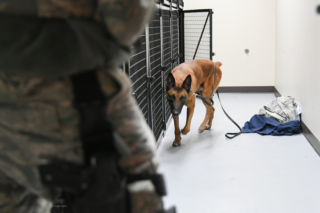XXuthus, a military working dog assigned to the 75th Security Force Squadron at Hill Air Force Base, Utah, sniffs around a dorm storage unit March 4, 2020.  Staff Sgt. Paul Bryant has been XXuthus's handler for six months. Xxuthus is a single-purpose MWD, trained as an explosive detection dog. (U.S. Air Force photo by Cynthia Griggs)