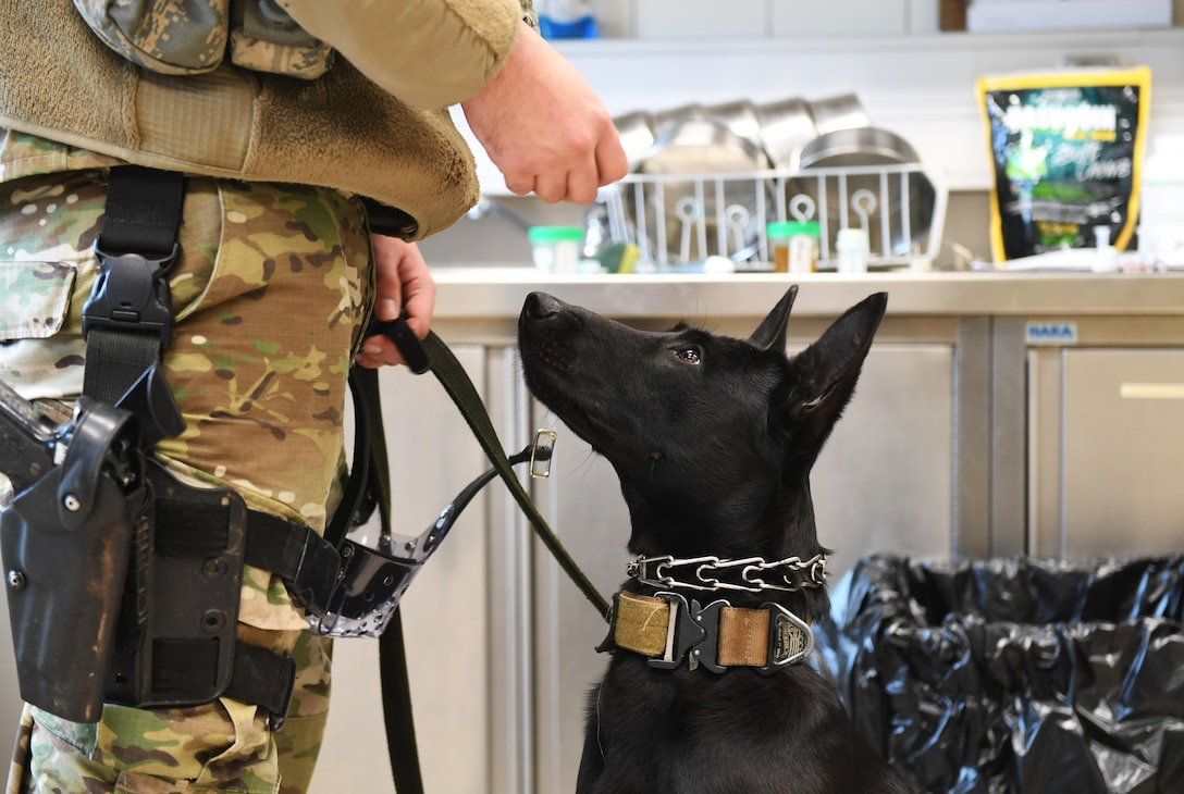 Ccatalina, 52nd Security Forces Squadron military working dog, sits for a treat during a medical exam at Spangdahlem Air Base, Germany, Mar. 5, 2020. Each month the MWDs are given heartworm prevention in the form of a treat, making it easier for the dog to receive the medication. (U.S. Air Force photo by Airman 1st Class Alison Stewart)
