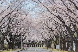 Cherry blossoms are in full bloom along McGuire Avenue at Yokota Air Base, Japan, March 25, 2020.