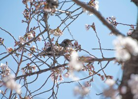 A bird rests on a cherry blossom tree, March 26, 2020, at Yokota Air Base, Japan.
