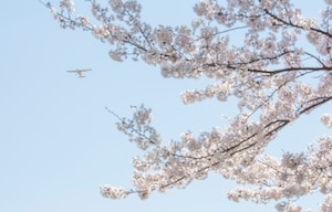 A Cessna owned and operated by the Aero Club flies over cherry blossom trees March 26, 2020, at Yokota Air Base, Japan.