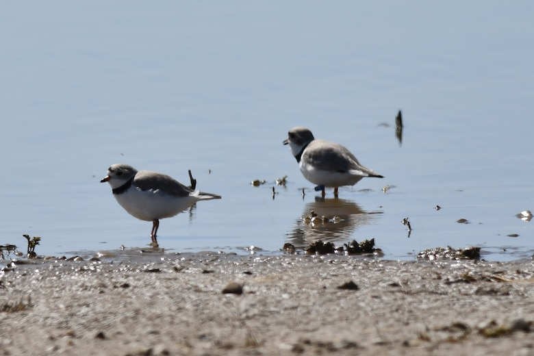 Piping plovers are sited at John Martin Reservoir, in Hasty, Colorado, on April 17, 2020. The plovers arrived earlier than their usual arrival time of late April and mid-May. This early arrival delighted the staff at the reservoir.