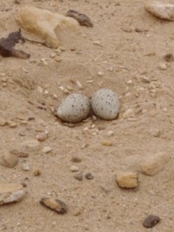 This piping plover nest was sited at John Martin Reservoir on May 12, 2020. This photo shows how difficult it is to see the nest and the eggs and how well they blend into the surrounding sandy habitat. This is effective in protecting the eggs from predators. However, it is so effective that the eggs may be difficult for people to see, which may be detrimental for the birds on occasion.
