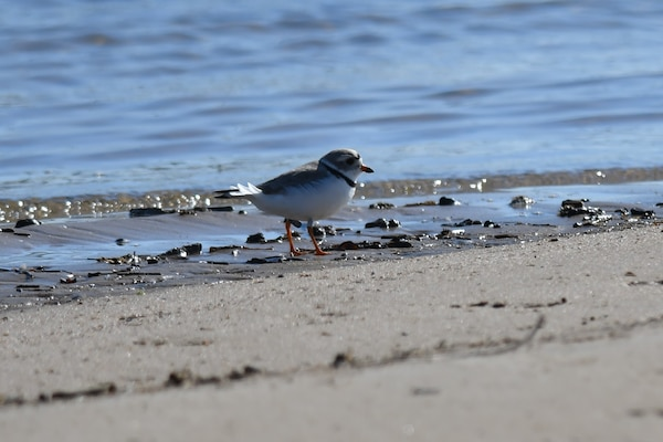 Piping plovers are spotted at nesting grounds, April 27, 2020, at John Martin Reservoir. Normal monitoring season for this specific bird is from April until August annually.