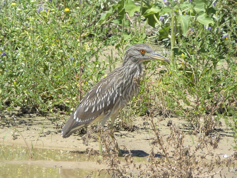 Black-crowned night heron stands near water