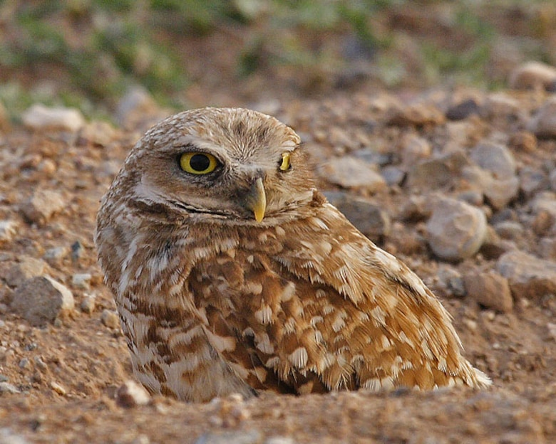 Burrowing owl sits above ground