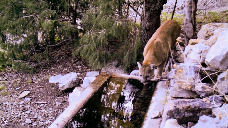 Mountain lion drinks water from a trough