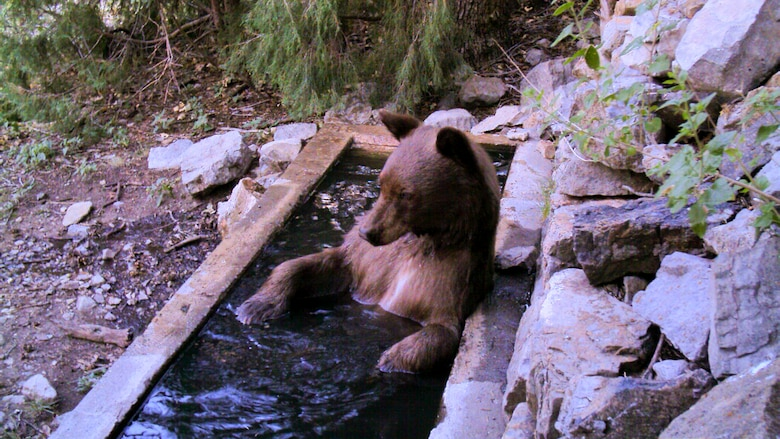 A bear lounges in a water trough