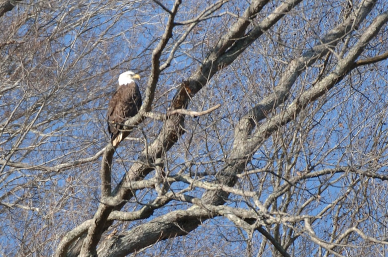An American Bald Eagle is perched on a tree limb on the shoreline of Dale Hollow Lake, which is operated by the U.S. Army Corps of Engineers Nashville District. (USACE photo by Lee Roberts)