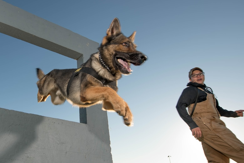 Senior Airman Theresa Braak, 436th Security Forces Squadron military working dog handler, and Military Working Dog Sam negotiate a window obstacle Oct. 8, 2020, at Dover Air Force Base, Delaware. The window is one of nine obstacles in the obedience yard. (U.S. Air Force photo by Mauricio Campino)