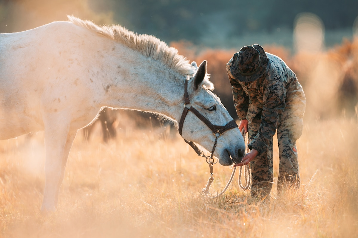 A Marine feeds a mule in a field.