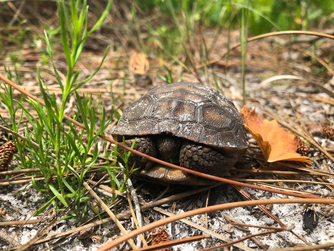 A juvenile gopher tortoise hides in its shell at MacDill Air Force Base, Florida, April 2019.