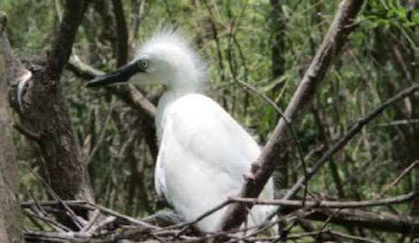 A juvenile snowy egret observed in nests on the Horseshoe Bend Island during nesting season.