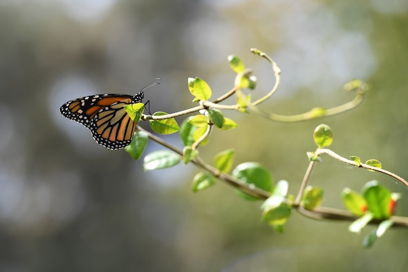 A butterfly sits on a branch during the Butterfly Release Ceremony honoring Keesler's Fallen Heroes at the Marina at Keesler Air Force Base, Mississippi, Sept. 25, 2020. The event was held in conclusion of Gold Star Family Remembrance Week, which honored the families of fallen service members. (U.S. Air Force photo by Kemberly Groue)