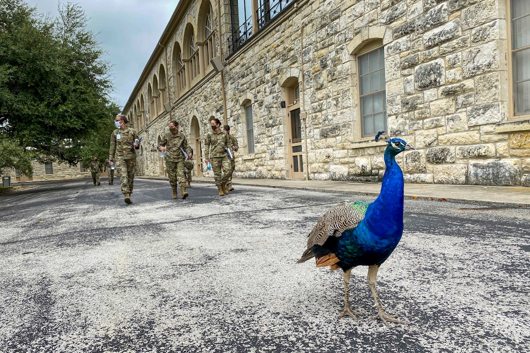 A peacock walks on a roadway next to a stone building as three Army generals walk in the distance behind it.
