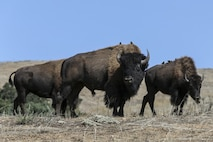 An American bison herd roams the hills on Marine Corps Base Camp Pendleton, California, Oct. 1, 2019. The San Diego Zoo gifted 14 bison to Camp Pendleton in 1973. As of today, there are approximately 90 bison aboard the base. Of the two wild conservation herds of bison in the state of California, one of them is at Camp Pendleton. (Marine Corps Photo by Lance Cpl. Andrew Cortez)