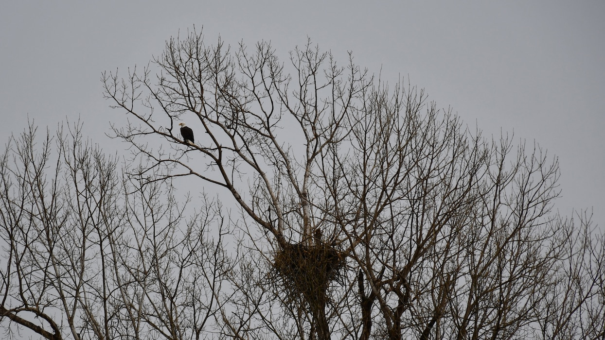Nesting bald eagles discovered at Perry Lake's Slough Creek Park.