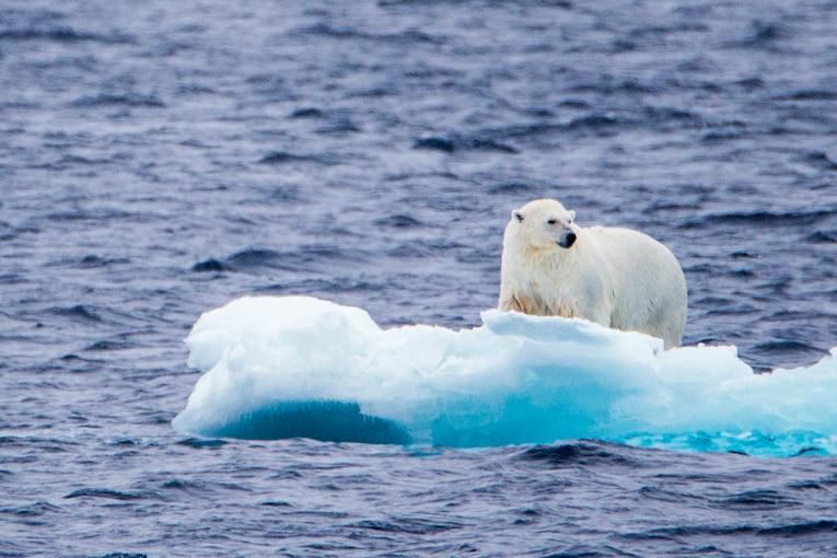 A young polar bear investigates a piece of ice in the Chukchi Sea.