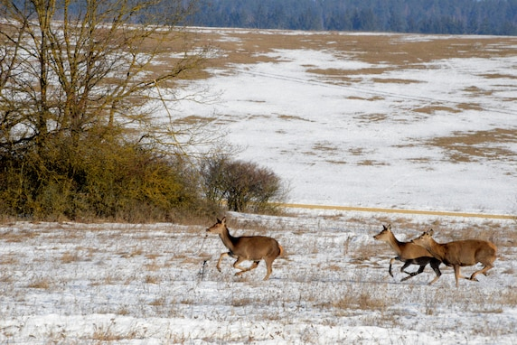 Deer cross an open field at the 7th Army Training Command's Grafenwoehr Training Area, Germany, Feb. 14, 2017.