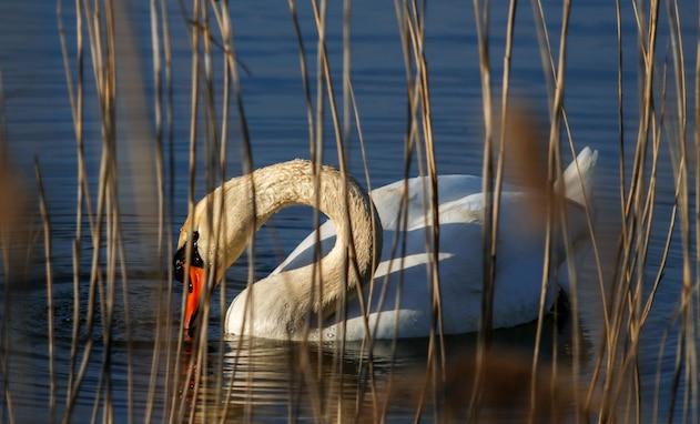 A white swan dips its beak in the water March 31, 2021 on Grafenwoehr Training Area, Grafenwoehr, Germany.