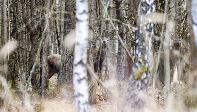 Three red deer hide in the woodline March 24, 2021 on Grafenwoehr Training Area, Grafenwoehr, Germany.