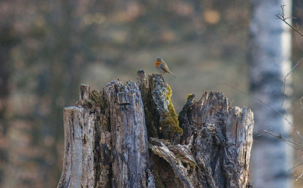 A European robin sits on a tree stump on the morning of March 31, 2021 on Grafenwoehr Training Area, Grafenwoehr, Germany.