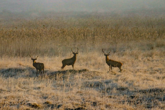 A trio of red deer stand in a field on the morning of March 31, 2021 on Grafenwoehr Training Area, Grafenwoehr, Germany.
