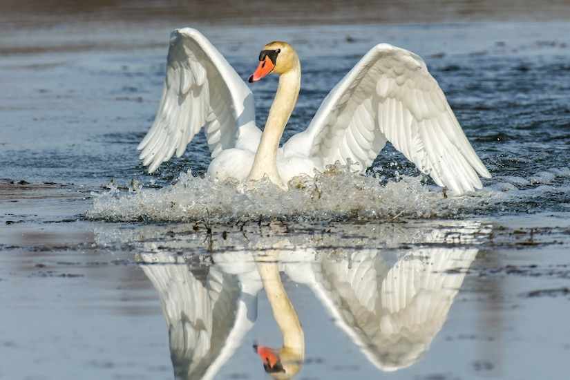 A swan is reflected in water as it spreads its wings.