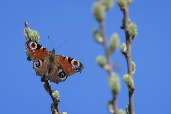 A butterfly sits on a blooming branch March 31, 2021 on Grafenwoehr Training Area (GTA), Grafenwoehr, Germany.