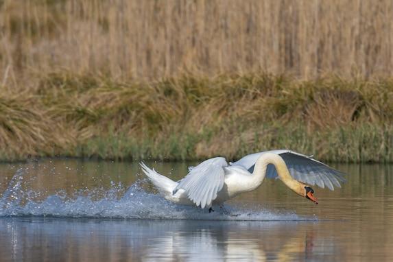 A swan lands on a lake April 1, 2021 on Grafenwoehr Training Area (GTA), Grafenwoehr, Germany.