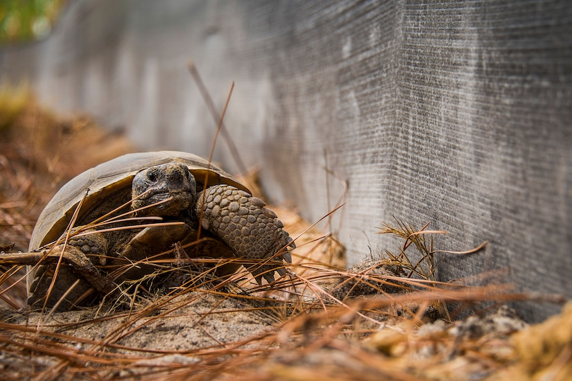 A tortoise moves near a wall.