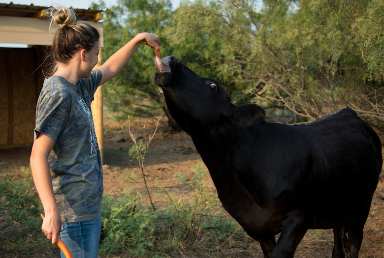 Dominique Kessler, daughter of U.S. Air Force Master Sgt. Thomas Kessler, 97th Logistics Readiness Squadron Vehicle Management Flight superintendent, feeds Milka the cow a carrot on 1AB Ranch in Altus, Oklahoma, Aug. 5, 2021. Milka is the only cow on the ranch and has a knack for getting out of her pen. (U.S. Air Force photo by Senior Airman Amanda Lovelace)