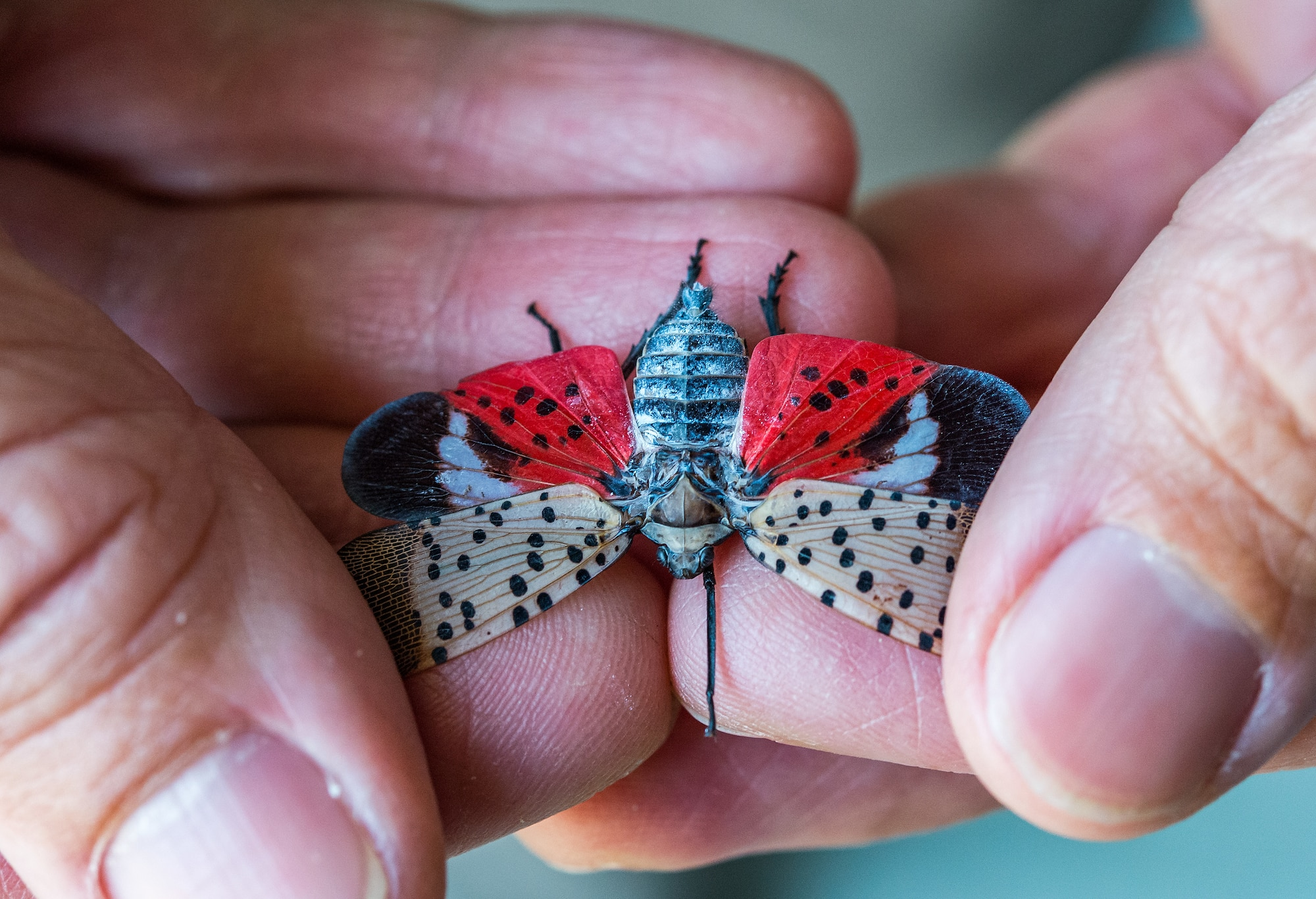 """Dr. Phil Lewis, U.S. Department of Agriculture, Forest Pest Method Lab, holds a Spotted Lanternfly at Dover Air Force Base, Delaware, Aug. 24, 2021. The """"hitchhiker"""" insects is believed to have made their way from Asia aboard shipping vessels. They attach themselves and lay eggs on objects which then causes disbursement around the world. (U.S. Air Force photo by Roland Balik)"""