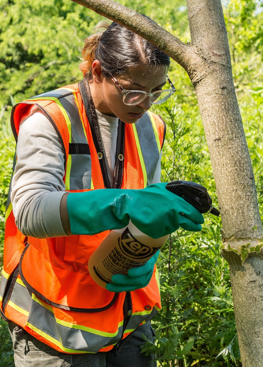 Lianmarie Colon Torres, U.S. Department of Agriculture plant health safeguard specialist, applies herbicide on a tree of heaven at Dover Air Force Base, Delaware, June 15, 2021. The invasive tree of heaven is a favorite host for the Spotted Lanternfly which causes damage to crops, ornamental trees, vineyards and forests. (U.S. Air Force photo by Roland Balik)