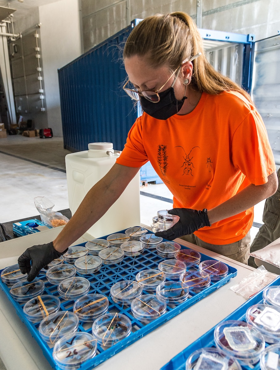 Emily Wallis, U.S. Department of Agriculture biological science laboratory technician, arranges Petri dishes containing Spotted Lanternflies at Dover Air Force Base, Delaware, Aug. 19, 2021. During experiments, the insects were exposed to three different insecticides to test their effectiveness. (U.S. Air Force photo by Roland Balik)