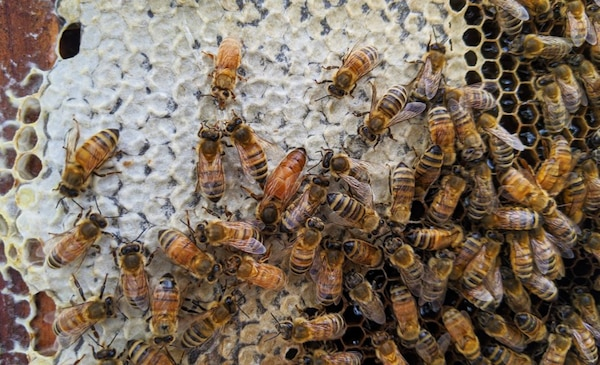 A nucleus of bees are busy in their hand-made hives at Trinidad Lake, Colo.