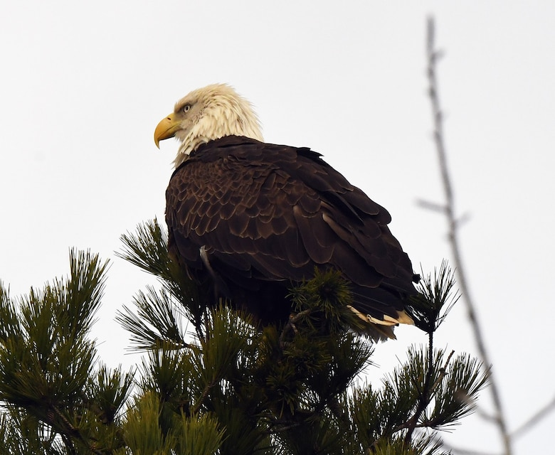 An immature bald eagle spotted at Enid Lake, Mississippi, during the U.S. Army Corps of Engineers (USACE) Vicksburg District's mid-winter bald eagle survey in January. A total of 50 eagles, along with other species, were counted across Arkabutla, Sardis, Enid and Grenada lakes during the 2021 survey.