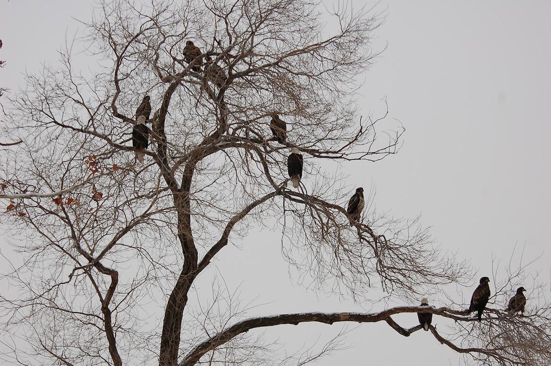 Bald Eagles at The Dalles Lock & Dam
