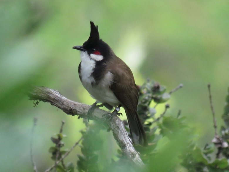A Red-whiskered Bulbul, a non-native fruit-eating bird on the island of Oahu, Hawaii, is pictured March 29, 2019. Research by U.S. Army Engineer Research and Development Center (ERDC), Construction Engineering Research Laboratory (CERL) and collaborators has demonstrated the importance of non-native birds for dispersal of native endangered plants in Hawaii.  The collaborative efforts of the ERDC-CERL's team help establish the Department of Defense's ability to properly train on military installations and balance ecosystem health. (U.S. Army Corps of Engineers photo)