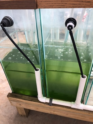 Harmful algal blooms in the lab