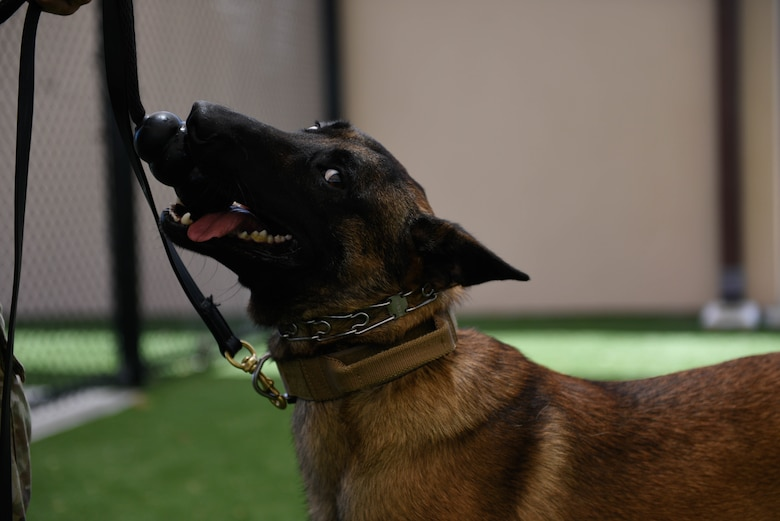 Turbo, 45th Security Forces Squadron military working dog, plays with his toy on June 10, 2021, Patrick Space Force Base, Fla. When MWDs execute commands properly and complete exercises correctly they are rewarded with a designated toy special to them. (U.S. Space Force photo by Airman 1st Class Samuel Becker)