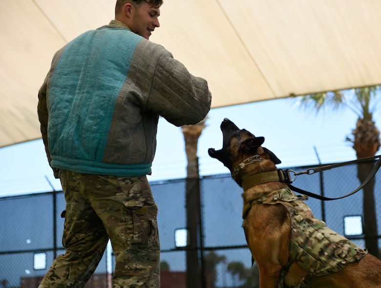 Airman 1st Class Christopher Cimino, 45th Security Forces Squadron military working dog handler, trains Turbo, 45th SFS MWD, in controlled-aggression on June 10, 2021, at Patrick Space Force Base, Fla. Handlers use this training to help MWDs practice detaining suspects trying to evade Security Forces. (U.S. Space Force photo by Airman 1st Class Samuel Becker)