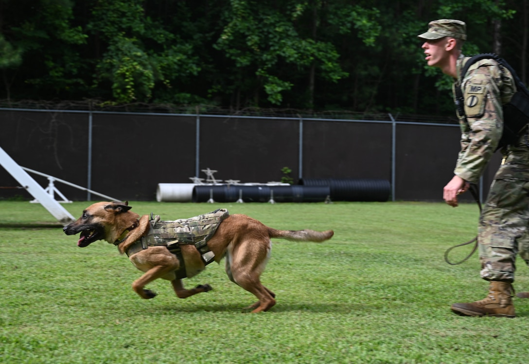 U.S. Army Specialist Taylor Blanton, 3rd Military Police Detachment, Military Working Dog handler, releases his Military Working Dog Maya during pursuit of suspect training at Joint Base Langley-Eustis, Virginia, July 8, 2021. According to Blanton, Maya's favorite training scenario is controlled aggression. (U.S. Air Force photo by Senior Airman Sarah Dowe)