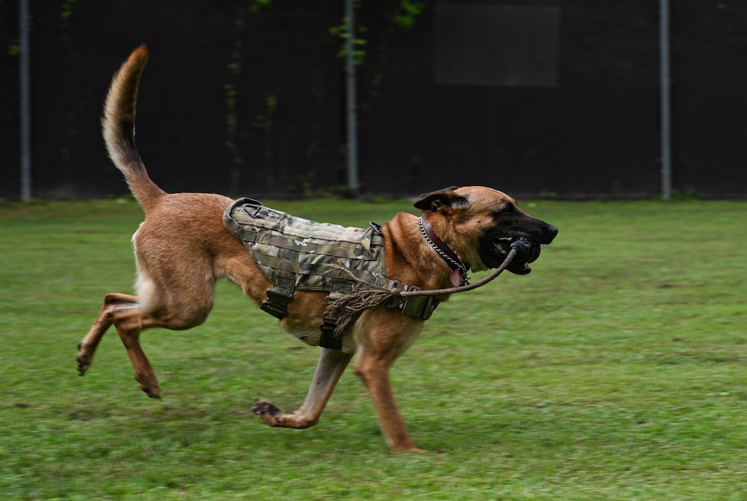 Military Working Dog Maya, a 5-year-old Belgian Malinois assigned to the 3rd Military Police Detachment, retrieves a toy for her handler at Joint Base Langley-Eustis, Virginia, July 8, 2021. Play time is used as positive reinforcement during training and for good behavior. (U.S. Air Force photo by Senior Airman Sarah Dowe)